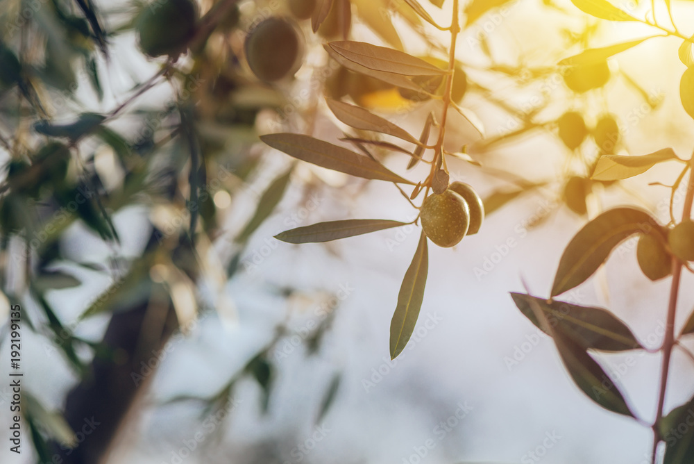 Ripe green olive fruit on branch in organic orchard