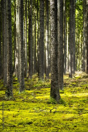 Deurstickers Berkbosje Spring forest