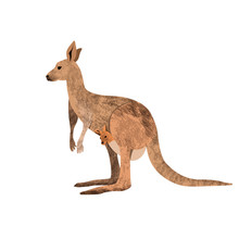 Red Kangaroo Carrying A Cute J...
