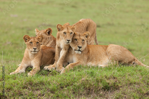 Photo  a pride of lions relaxing on the grasslands of the Maasai Mara