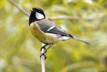 Single Great Tit Bird On A Tre...