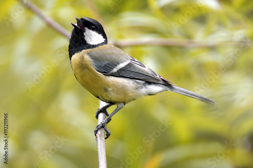 Single Great tit bird on a tree branch during a spring nesting period Fototapeta