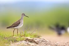 Single Wood Sandpiper Bird On ...
