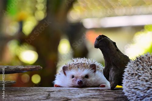 Young hedgehog in natural habitat background .