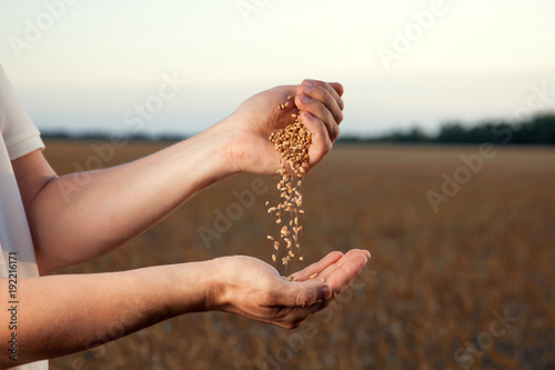 man pours wheat from hand to hand on the background of wheat field Wallpaper Mural