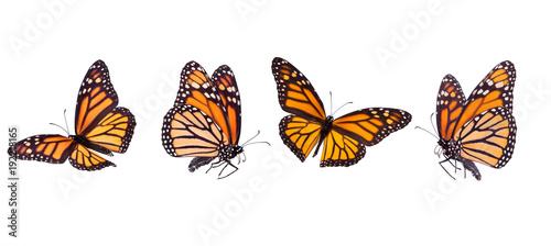 Poster Vlinder Monarch butterfly composite isolated on white