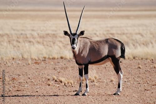 Antelope Oryx in Afrika