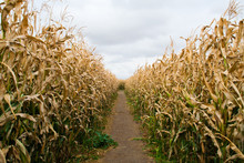 Path Through A Maze Of Corn
