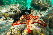 Underwater Photography. Red Knobbed Sea Star And Sea Urchins. Zanzibar, Tanzania.