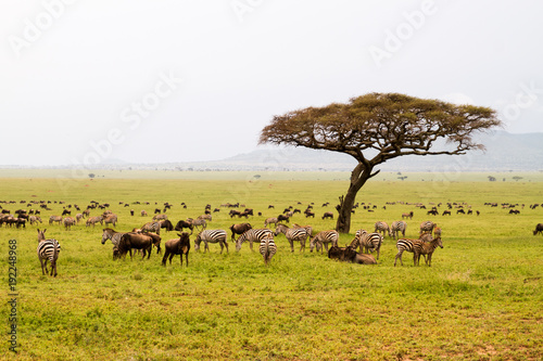 Poster Miel Field with zebras and blue wildebeest