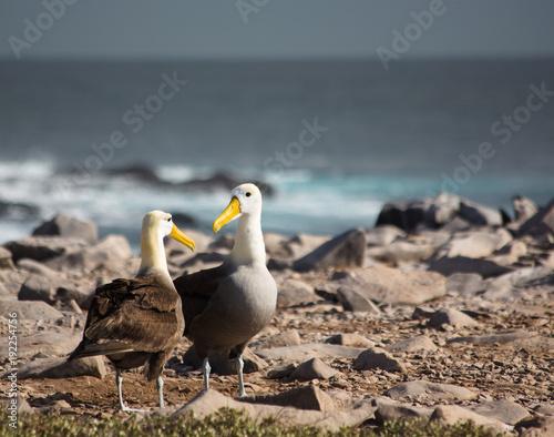 Valokuvatapetti Albatross Pair