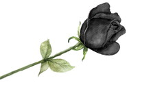 Watercolor Single Black Rose I...