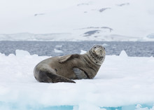 A Spotted Leopard Seal Laying ...