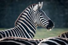 Portrait Of A Male Zebra