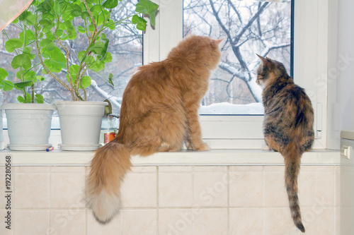Fototapety, obrazy: A red Siberian cat and an American shorthair cat sit on the windowsill and look out the window for the winter