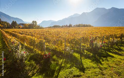 Trentino vineyards in autumn against Alps Canvas Print