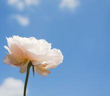 White Rose Flower On Blue Sky Background