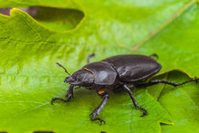 Female Stag Beetle On The Gree...