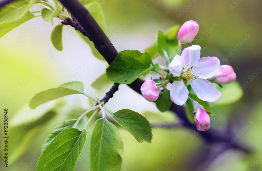 Fototapety, obrazy: Flowers of an apple tree in spring on a nature outdoors macro. Colorful bright artistic image.