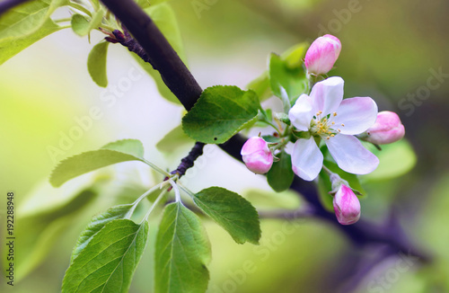 Obraz Flowers of an apple tree in spring on a nature outdoors macro. Colorful bright artistic image. - fototapety do salonu