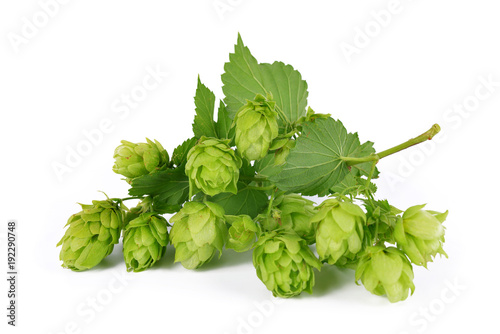 Branch of hop with cones and leaves (Humulus lupulus) isolated on a white background.
