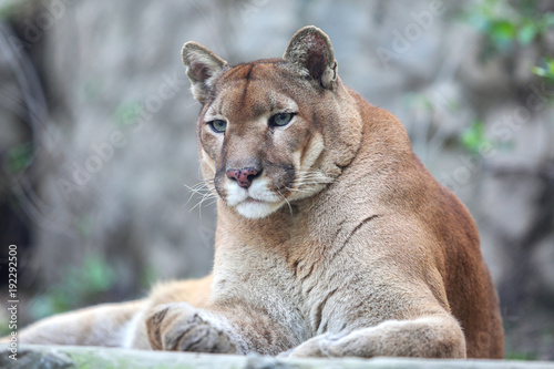 Poster Puma Bored mountain lion laying on rocky pedestal in zoo