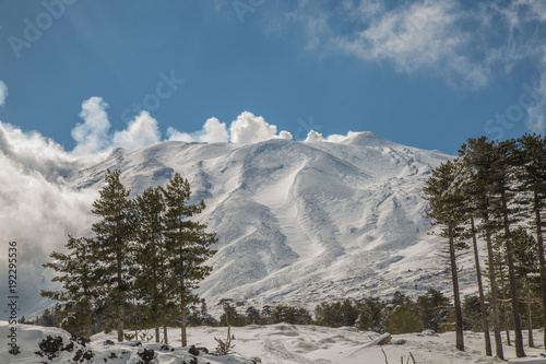 Fototapeta Snow on the needles of pine tree in the wood in winter - Volcano Etna Park, Sici