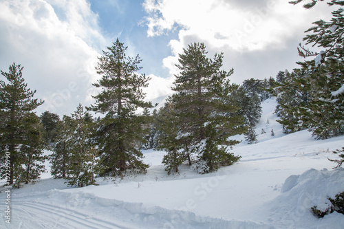 Fényképezés  Snow on the needles of pine tree in the wood in winter - Volcano Etna Park, Sici