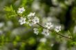 canvas print picture - Mirabelle Bluete im Garten Lenz