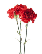 Red Carnation Isolated On White Background