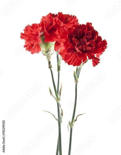 Photo  red carnation isolated on white background