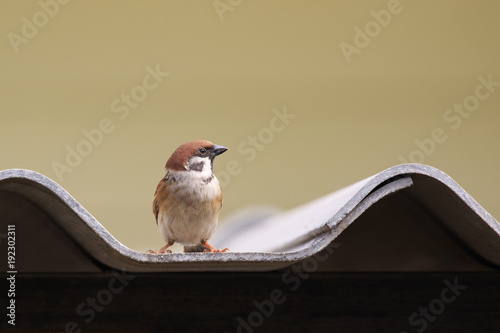 Fotografía Image of sparrow on the roof tile. bird. Animal.