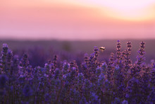 Bee Flying  Over Lavender Field