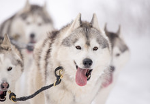 Siberian Husky Dogs At A Sled ...