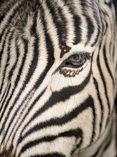 Fototapety, obrazy: A close up of a equus burchelli