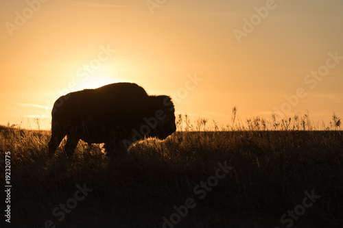 In de dag Buffel Buffalo profile with setting sun