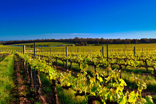 Vineyard Under Blue Sky In Margaret River Region