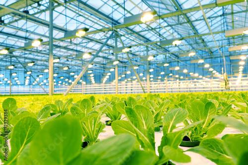Fotografía Growing cucumbers in a greenhouse.