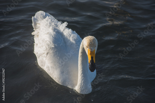 Fotografie, Obraz  Beautiful white whooping swans swimming in the nonfreezing winter lake