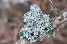 Lichen On Tree Branch. Lichen Grows On Rotten Wood