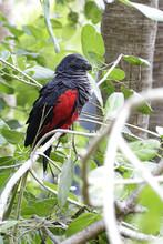 Pesquet's Parrot (Psittrichas ...