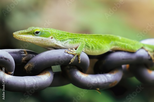 Photo Anole On Chain
