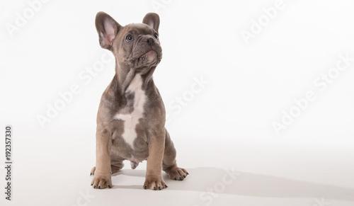 Foto op Plexiglas Franse bulldog French bulldog puppy looking up
