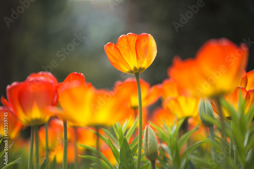 Single glowing tulip in field