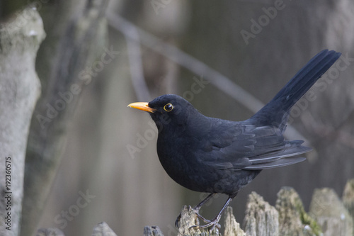 a blackbird with yellow beak sits in front of a fence Canvas Print