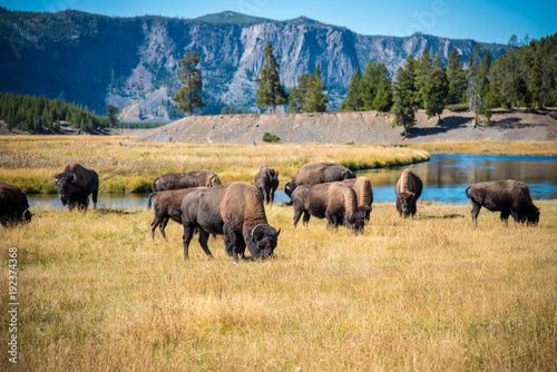 Photo sur Toile Bison Grazing Herd