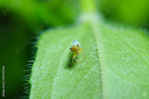 The sap-sucking insect Psylla mali on a green leaf