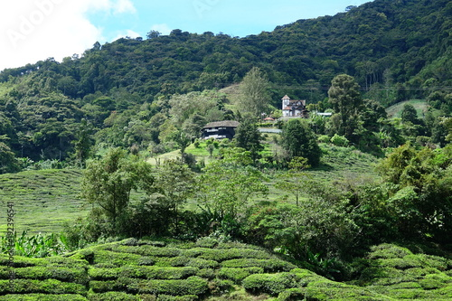 Foto op Canvas Olijf Malaysia Cameron Highlands tea plantation