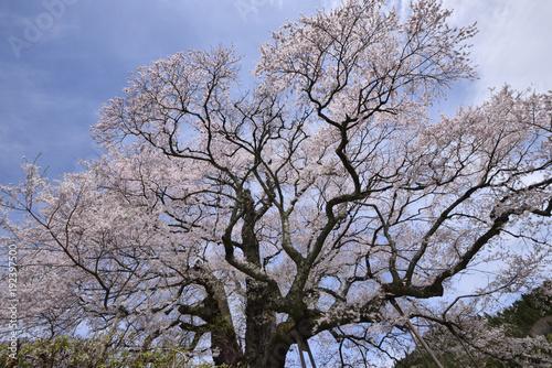 Fotomural 岡山の醍醐桜と青空4
