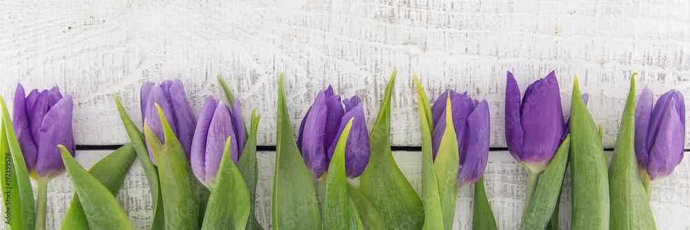 Fototapety, obrazy: Frame of purple(violet) tulips on white rustic wooden background with copy space for message. Spring flowers. Greeting card for Valentine's Day, Woman's Day and Mother's Day. Top view